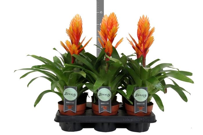 <h4>Vriesea  'Intenso Orange'</h4>