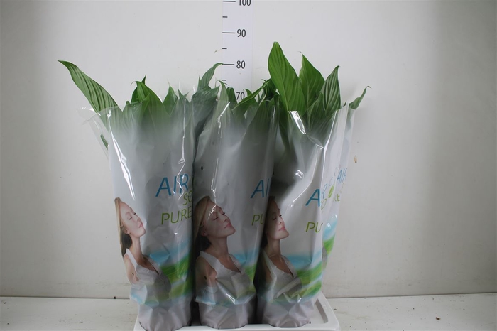 <h4>Spathiphyllum Bingo Cupido</h4>