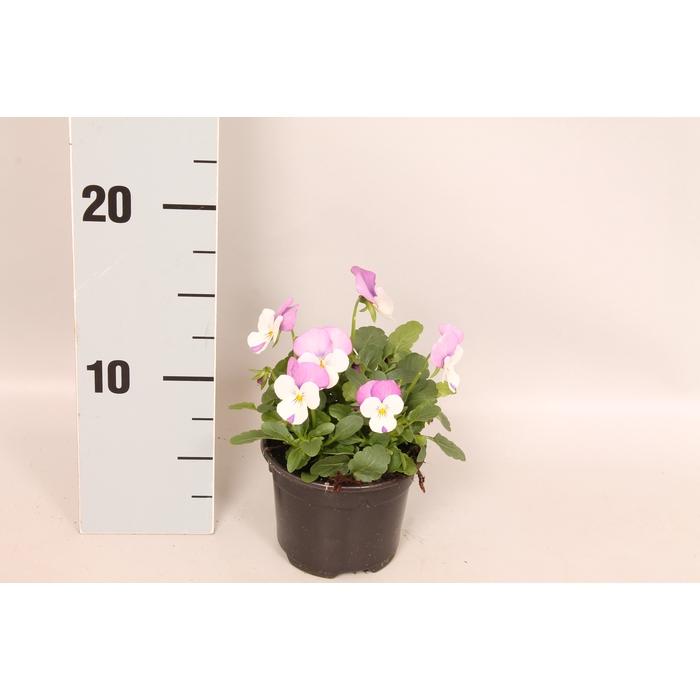 <h4>Viola cornuta F1 Pink wing</h4>