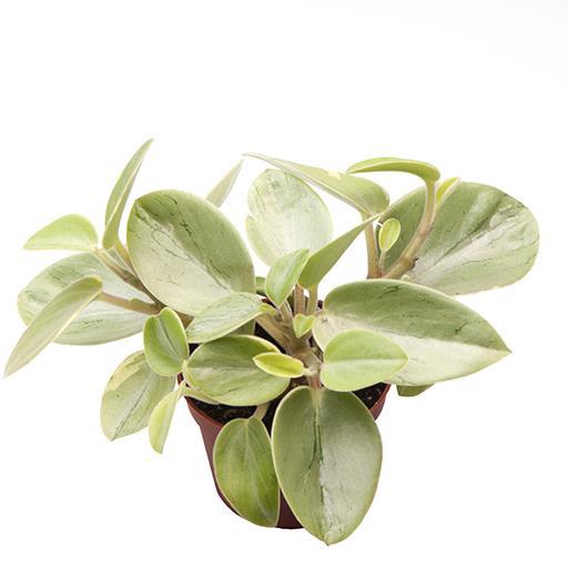 <h4>Peperomia Obtusifolia Pixie Lime 6Ø 15cm</h4>