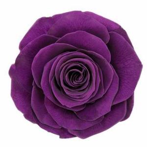 rose Ines Violet