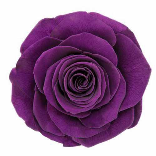 Rose Ava Violet