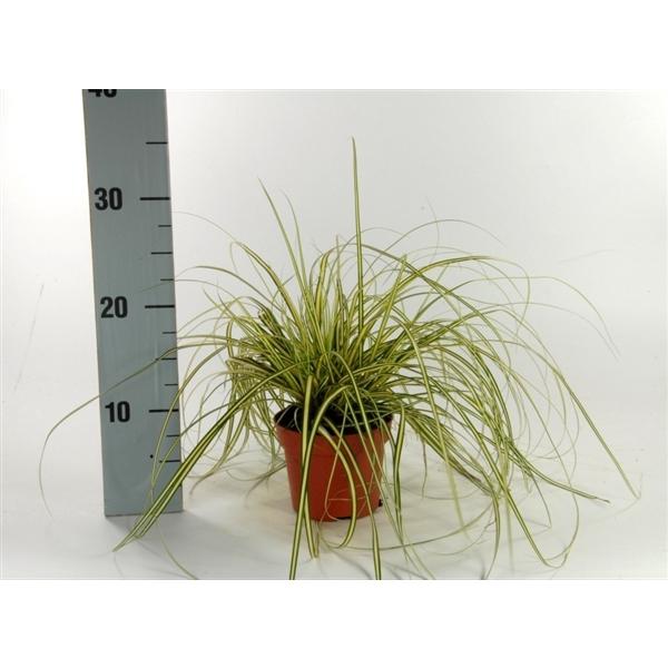 <h4>Carex 'Evergold' p12</h4>