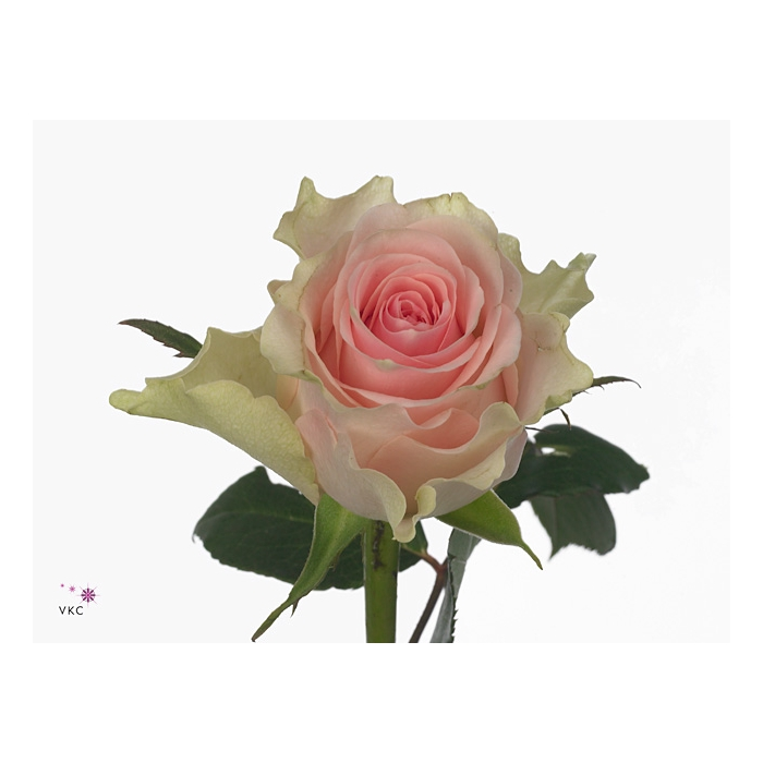 <h4>单头玫瑰 最高档</h4>