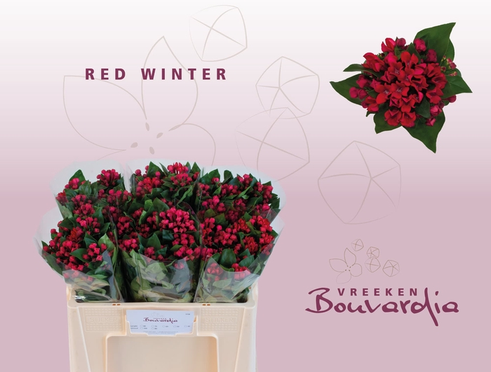 <h4>BOU EN RED WINTER</h4>