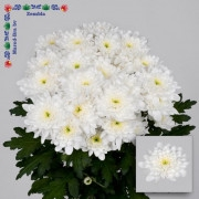 <h4>Chrysanthemum spray Zembla White</h4>