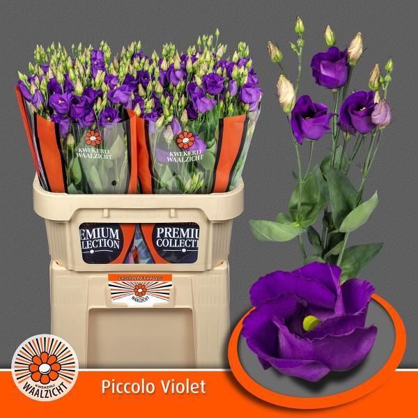 <h4>Eus E Picco Violet</h4>