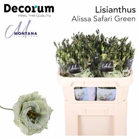 <h4>LISIANTHUS DYE SAFARI GREEN 70 CM</h4>