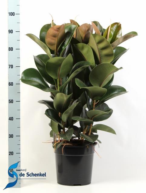 <h4>Ficus elastica Cloe 27Ø 95cm</h4>