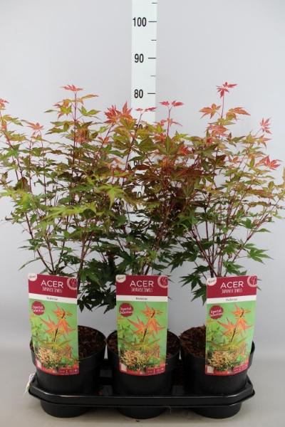 <h4>Acer palmatum 'Redwine'</h4>