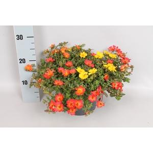 Perkplanten 19 cm Portulacca Happy Colors 3 kleuren per pot