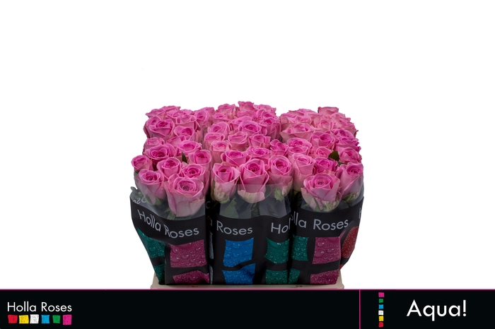 <h4>Rosa grootbloemig Aqua!</h4>