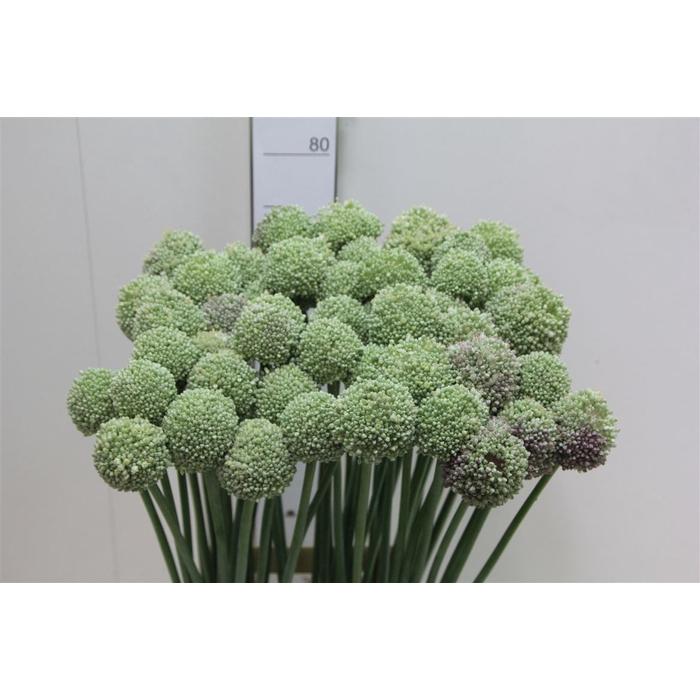 <h4>Allium Ampeloprasum</h4>