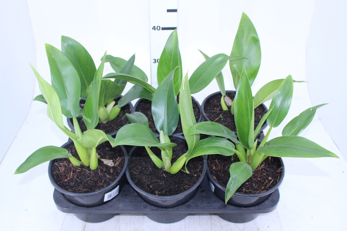 <h4>PHILODENDRON PACOVA P20</h4>