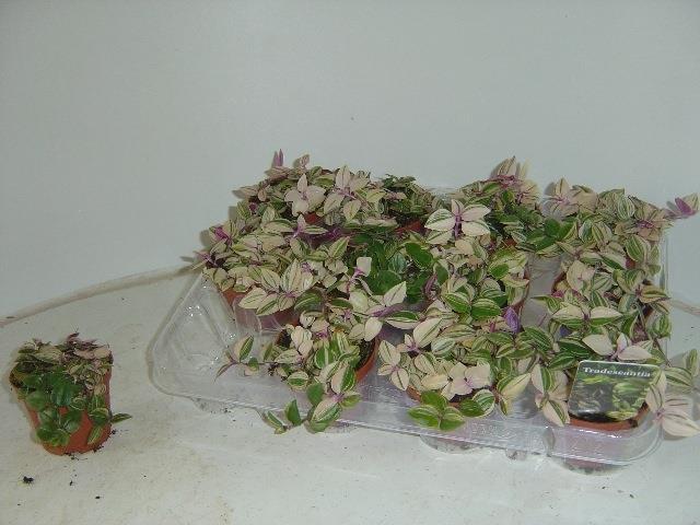 <h4>Tradescantia fluminensis Quadricolor 7,5Ø 7cm</h4>