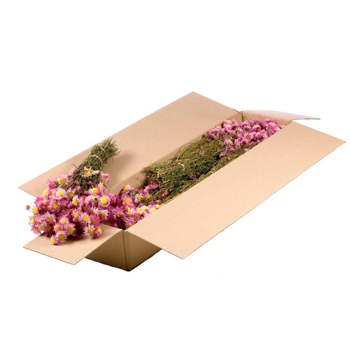 <h4>Acroclinium SB pink natural</h4>