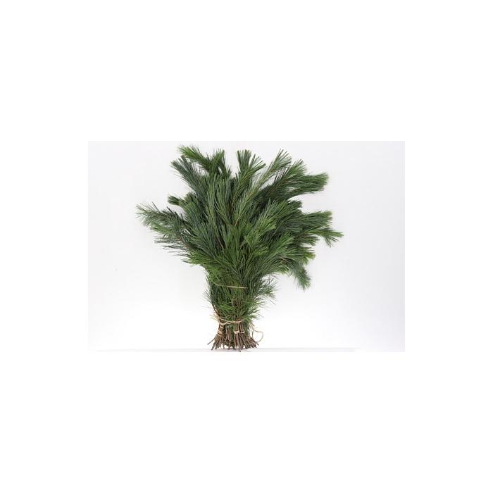 <h4>Dec Pinus Strobus Bs</h4>