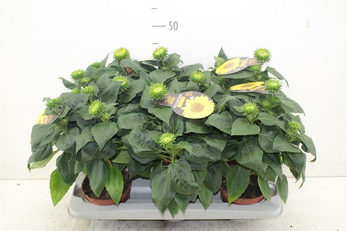 <h4>Helianthus Suncatcher Multiflora</h4>