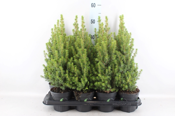 <h4>Picea glauca 'Perfecta'</h4>