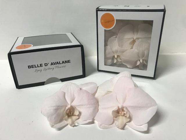 <h4>Phalaenopsis L Pink 30 RL</h4>