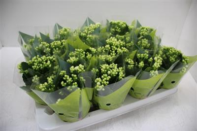 <h4>0207 WIT MINI KALANCHOE</h4>