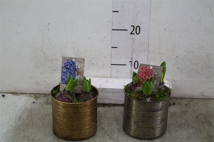 <h4>Hyacinth Mix 0947 Zink Koper Lood Rond 3pp Mos</h4>