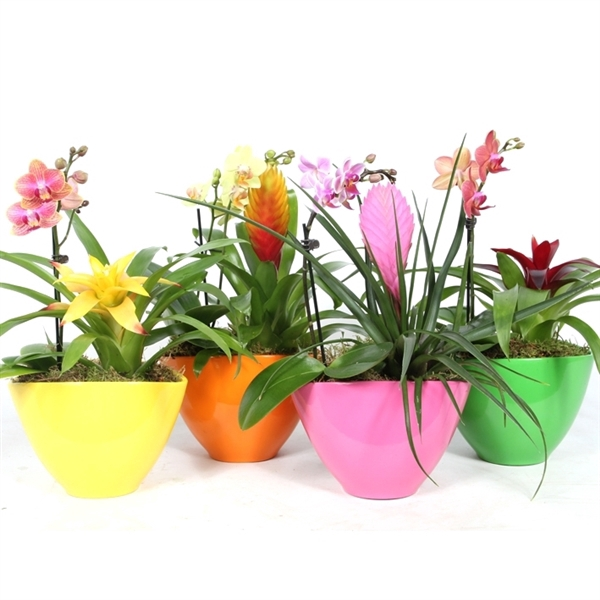 <h4>Coupe Borabora cupcake royal + phalaenopsis</h4>