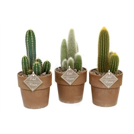<h4>Cactus Zuil In Bruine Vaaspot Met Lava En Etiket</h4>