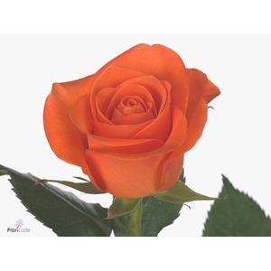 Rosa large flowered Spritz