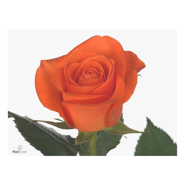 <h4>Rosa large flowered Spritz</h4>