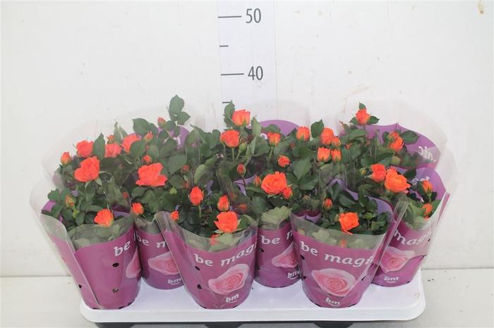 <h4>Rosa Jewel Oranje</h4>