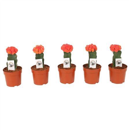 <h4>Cactus Gymnocalycium Red Ø10,5cm Plastic Pot</h4>