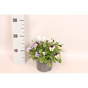 Viola cornuta 13 cm Trio Blue, white, Blue yellow with purple wing
