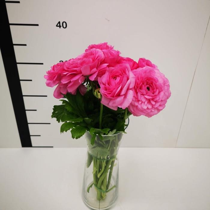 <h4>Ranunculo rosa</h4>