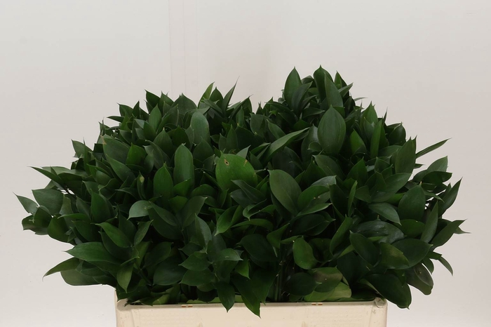 <h4>Ruscus Hypophyllum</h4>
