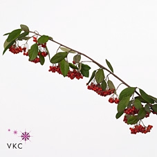 <h4>COTONEASTER SP</h4>
