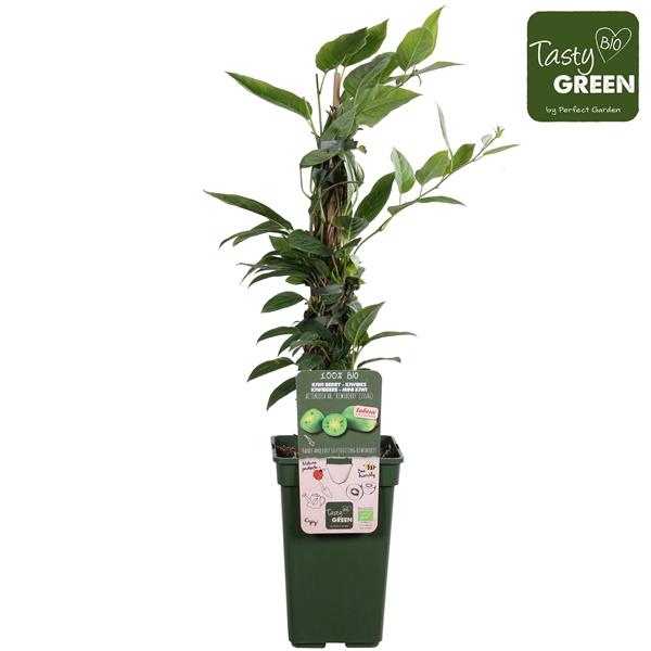 <h4>Actinidia arguta Kiwiberry (Issai)- Self-fertile - Tasty Green biologisch</h4>