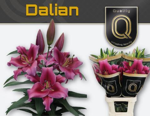 <h4>Lilium (OT-hybrids Grp) 'Dalian'</h4>