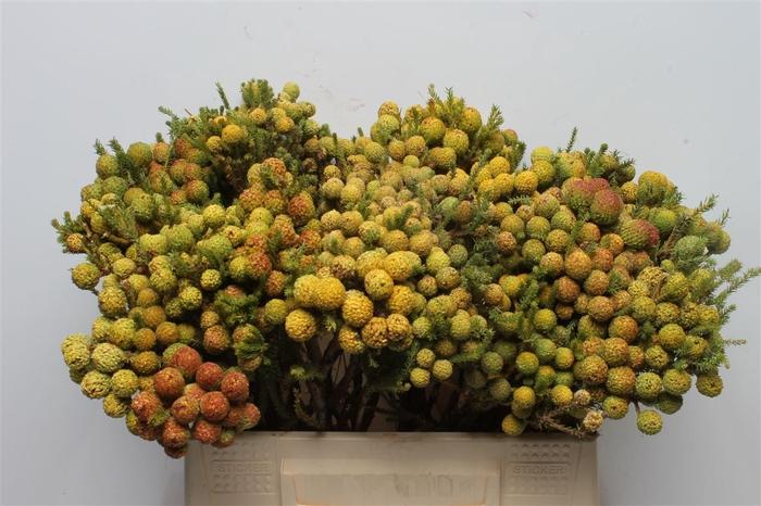 <h4>Kaaps Berzelia Brotanoides</h4>