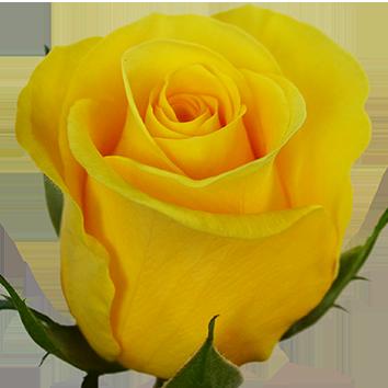 <h4>Rosa gr Brighton (Nevado)</h4>