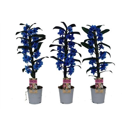 <h4>Dendr N S C Colored Blauw 1 Tak</h4>