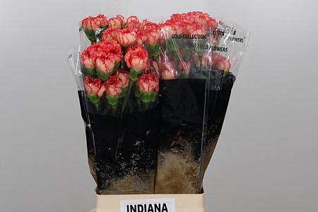 <h4>Di St Indiana</h4>
