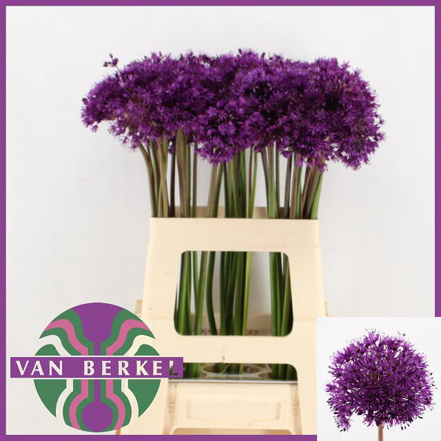 <h4>ALLIUM PURPLE SENS</h4>