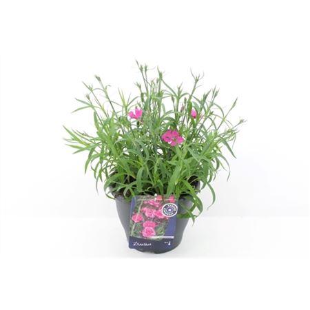 <h4>Dianthus Sunnade Pink</h4>