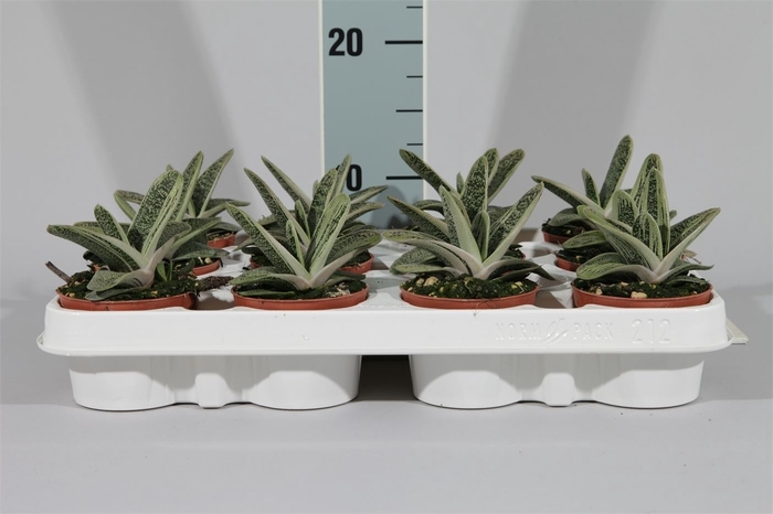 <h4>Gasteria  'Little Warty'</h4>