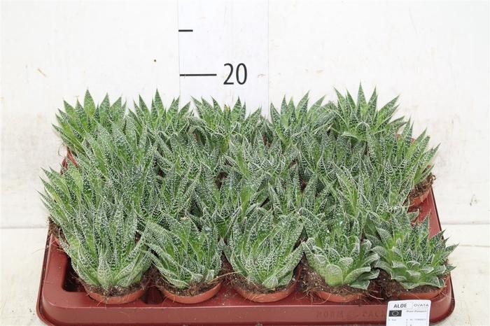 <h4>Aloe Aristata Magic</h4>