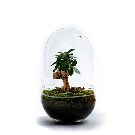 <h4>Gccr-2106 Growing Concepts Egg L-ficus Ginseng</h4>