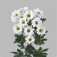 <h4>Chrysanthemum spray chic</h4>