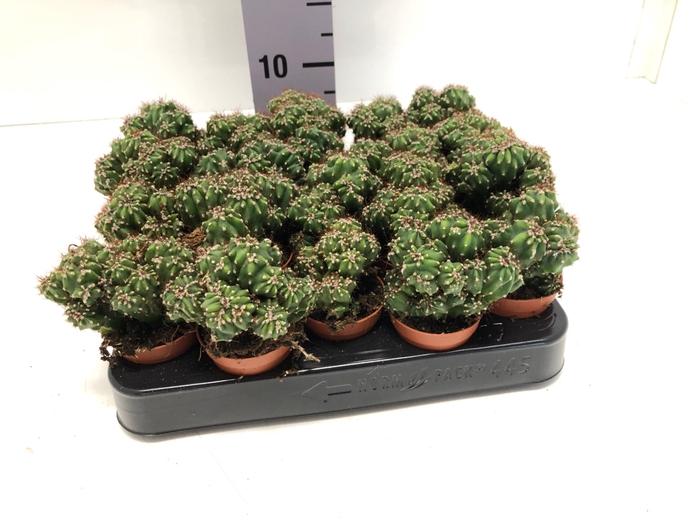 <h4>Cereus peruvianus Monstrosus 5,5Ø 5cm</h4>