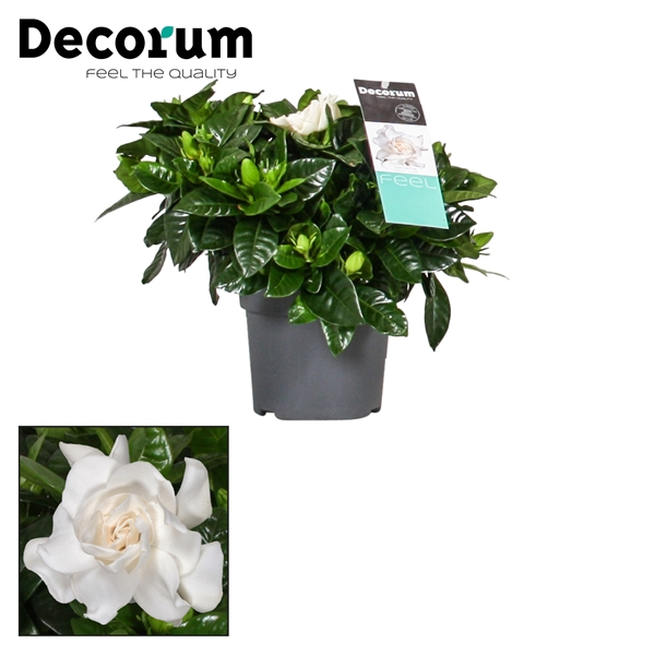 <h4>Gardenia Jasminoides + sticker</h4>